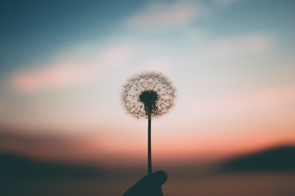 Cultivating Mindfulness during Covid-19 - MFS Blog - McCaskill Family Services - dandelion